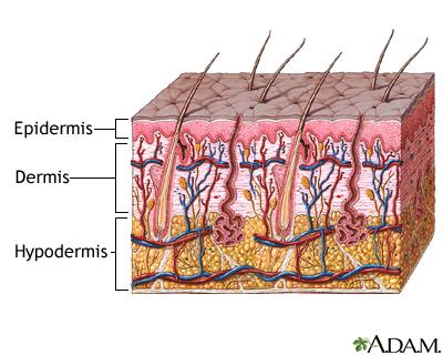 Skin (Integumentary) System Information